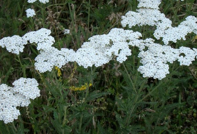 5 лекарственных растений, которые могут заменить содержимое аптечки