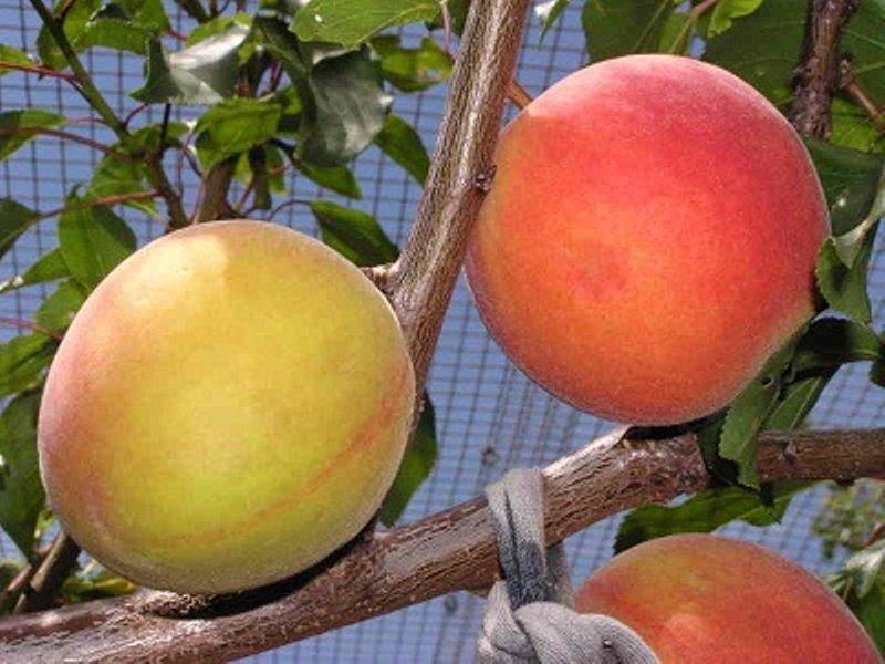 Гибридные фрукты и ягоды, о которых вы не знали