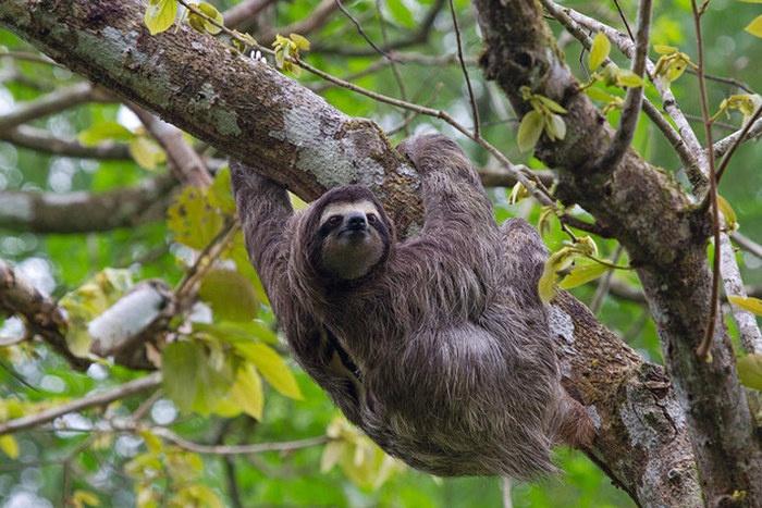 Интересные факты о ленивцах