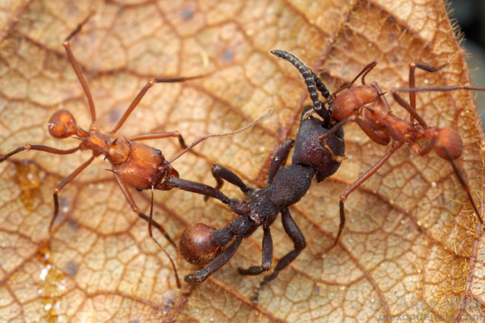 Жестокие муравьиные войны за контроль над территорией