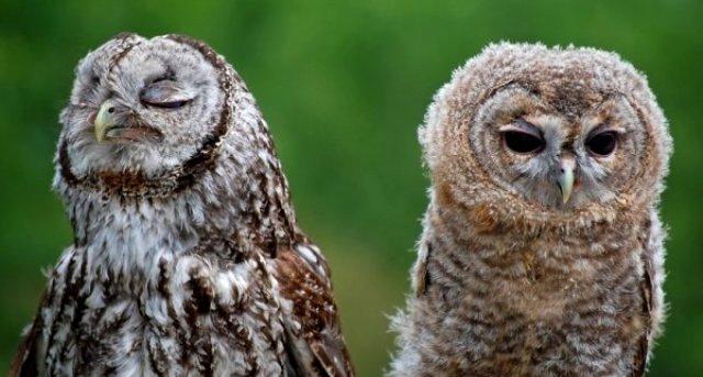 Милые и печальные совы