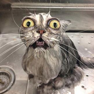 Стоит ли купать кота?