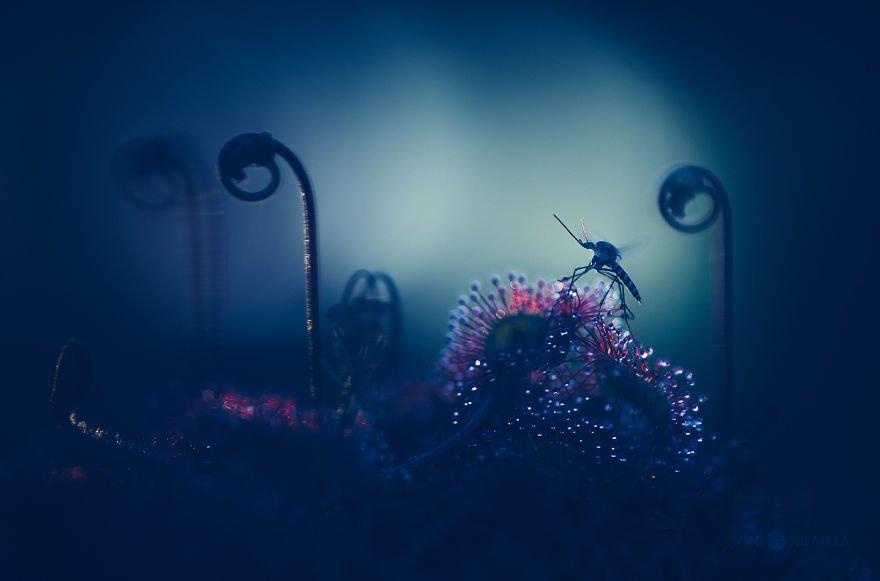 Космические макрофотографии росянки от финского фотографа Joni Niemel