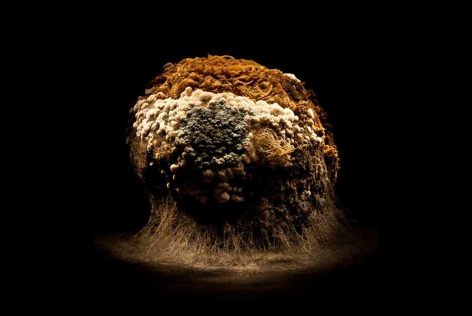 Царство плесневых грибов на гибнущих плодах