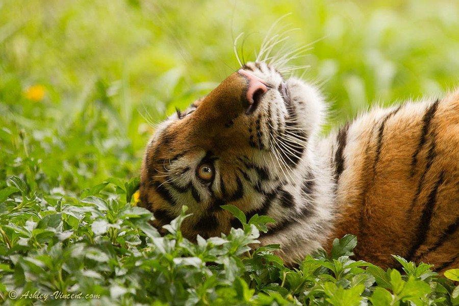 тигр и кот фото тонкости погони идеей