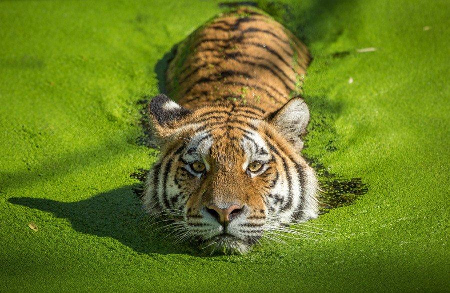 Тигры на потрясающих фотографиях