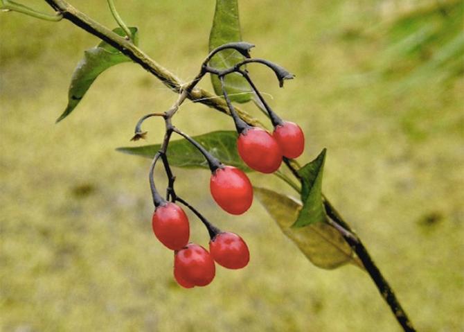 Лесные ягоды, которые лучше обойти стороной