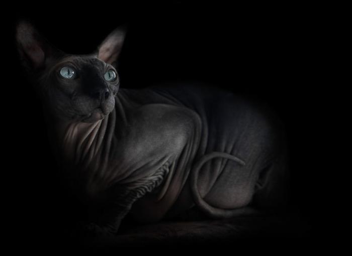 Неповторимая красота кошек породы сфинкс