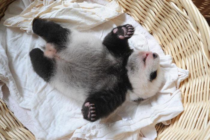 Новорожденные детеныши панд в китайском научном центре