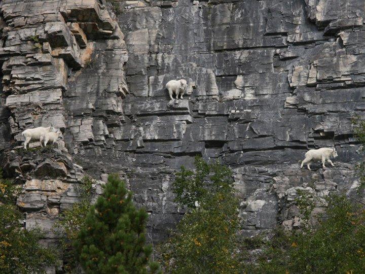 Бесстрашные горные козлы
