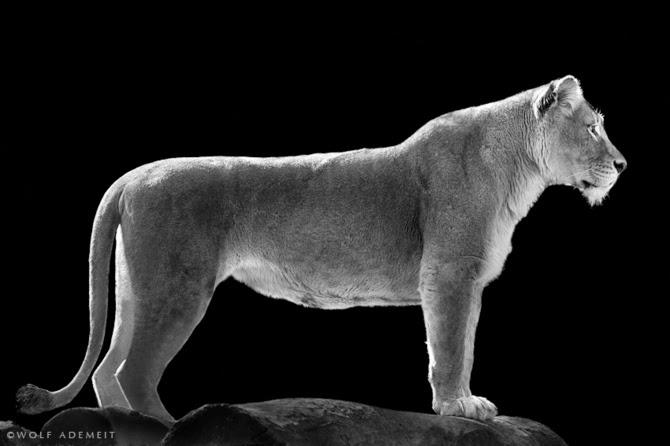 Черно-белые фотографии животных от Вольфа Адемайта