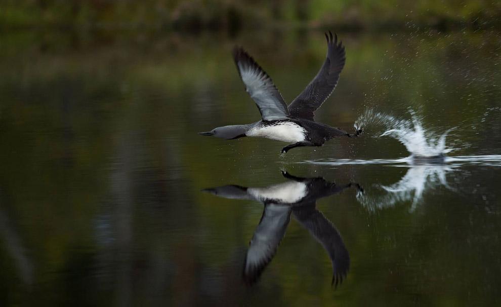 Животный мир Скандинавии от фотографа-натуралиста Рогера Брендхагена
