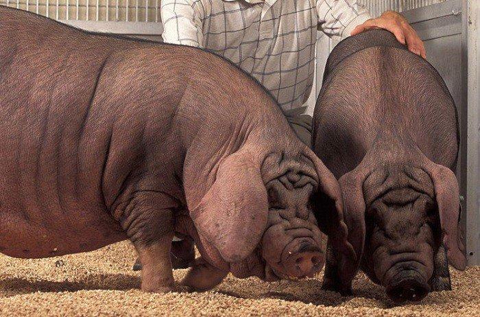 Необычные животные, появившиеся на свет благодаря селекции
