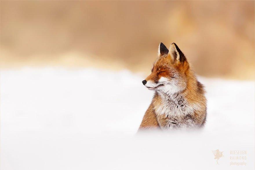 Довольные и расслабленные дикие лисы в объективе Розелен Реймонд