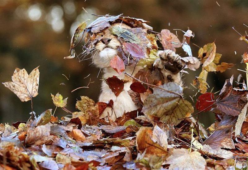 Львёнок веселится в куче осенних листьев