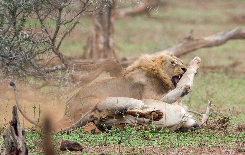 Схватка львов