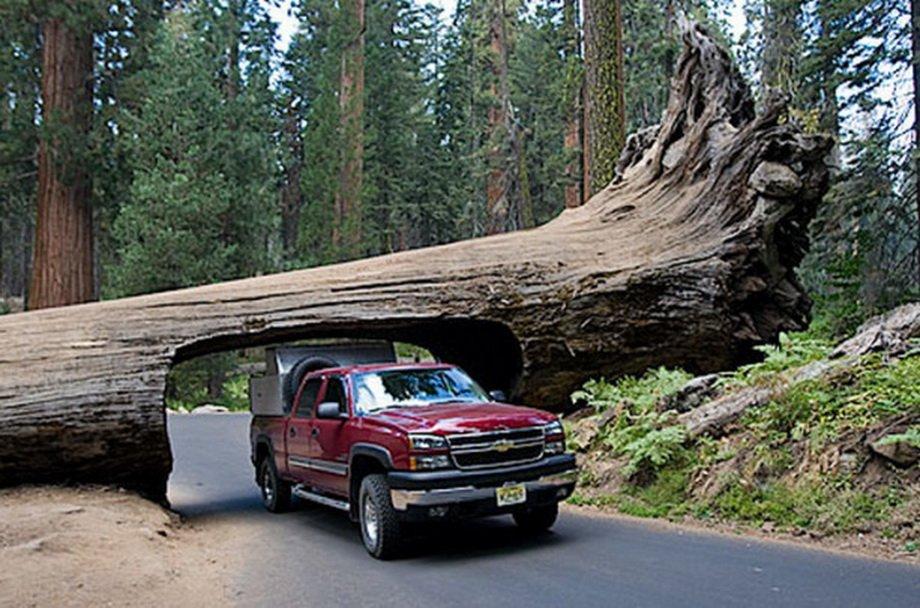 Тоннели через гигантские деревья