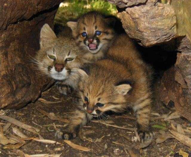15 видов кошек, о которых вы не знали