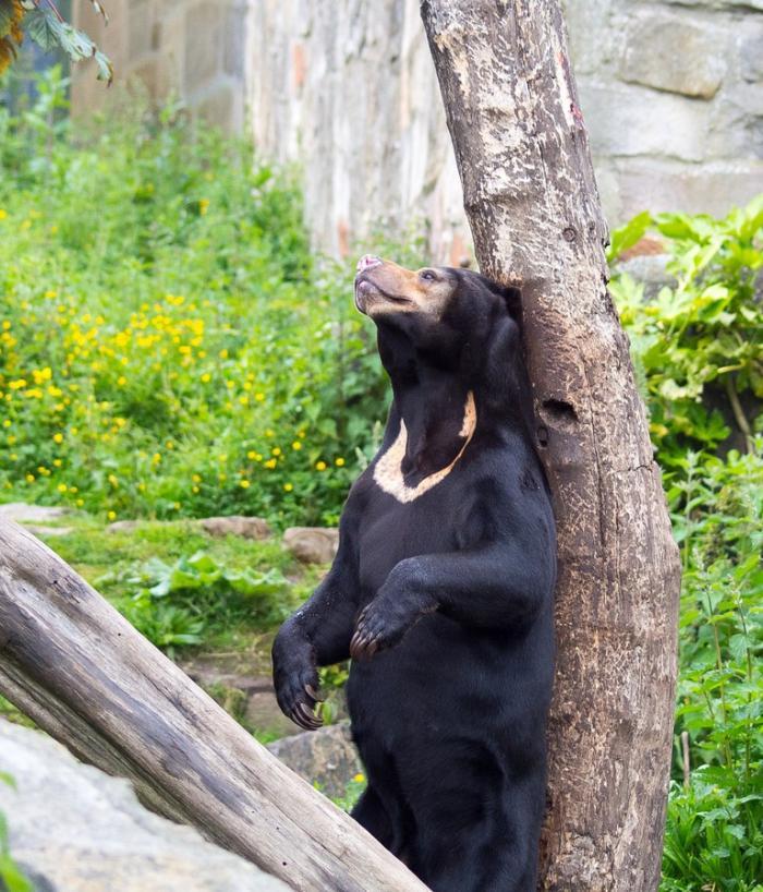 Малайский медведь, солнечный медведь, медовый медведь или бируанг