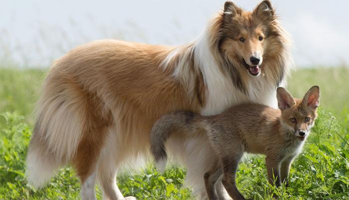 Колли стала новой мамой для осиротевшего лисенка