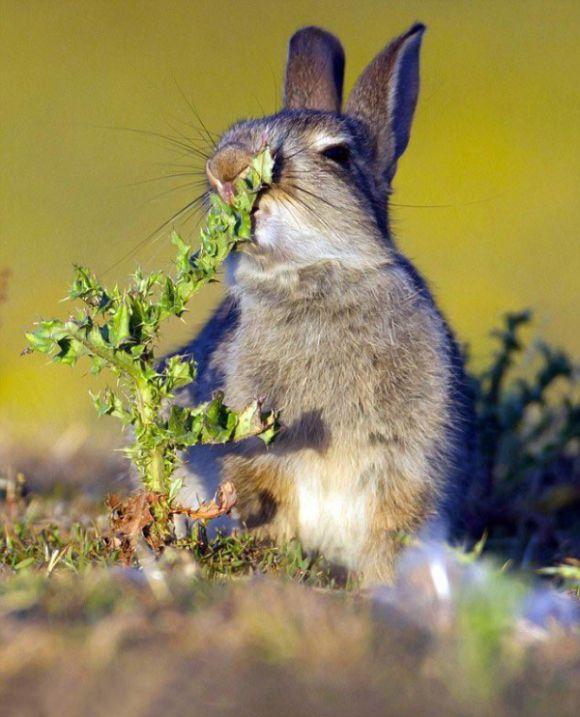 Голодный кролик попробовал чертополох