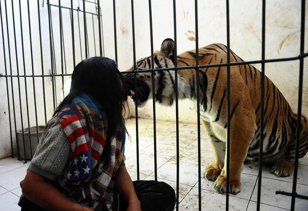 Необычная дружба человека и тигра