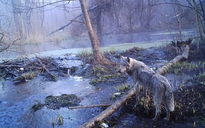 Редкие животные в чернобыльском лесу