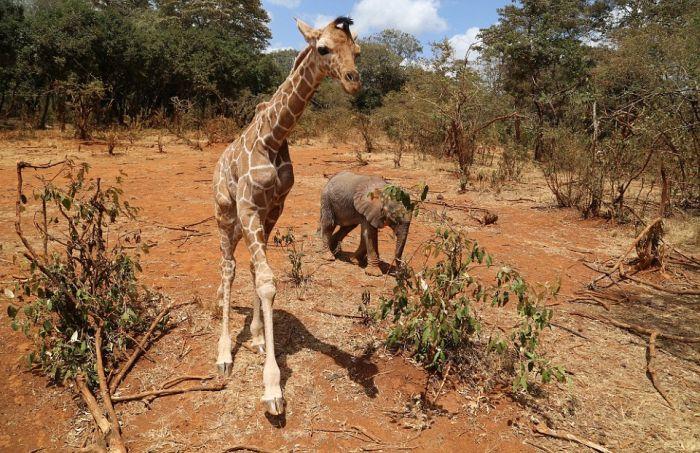 В Кении детеныш жирафа дружит со слоненком