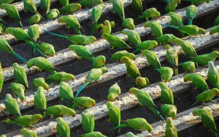 Пожилой индиец кормит 4000 попугаев ежедневно