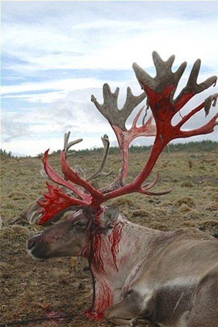 Так выглядят оленьи рога, когда с них слазит старая кожа