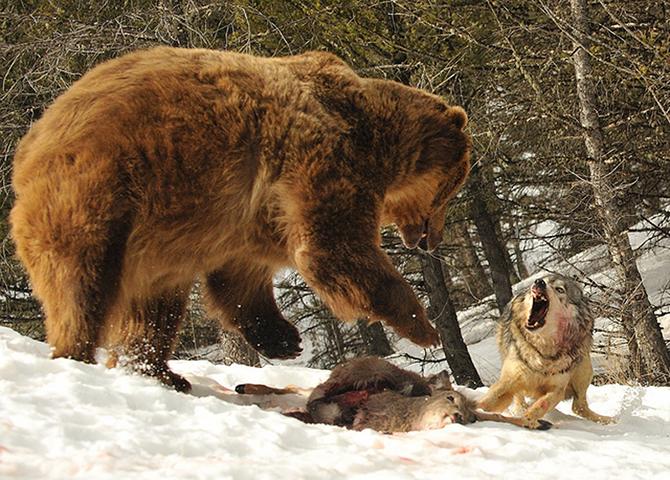 Дикие животные дерутся не на жизнь, а на смерть