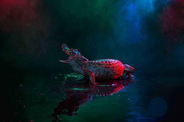 Красочные фотографии крокодиловых кайманов