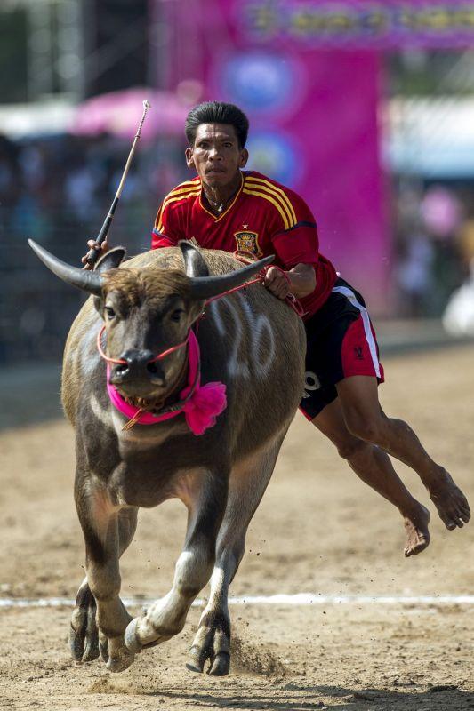 Как проходили гонки буйволов в Таиланде