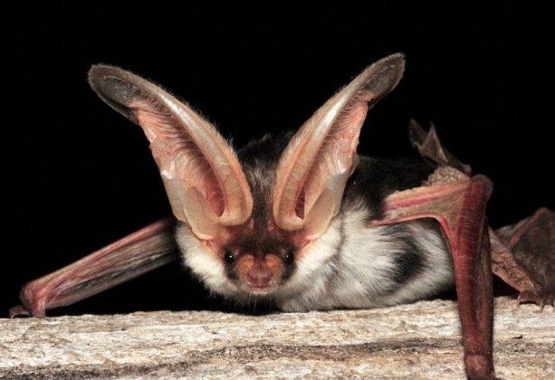10 необычных видов летучих мышей