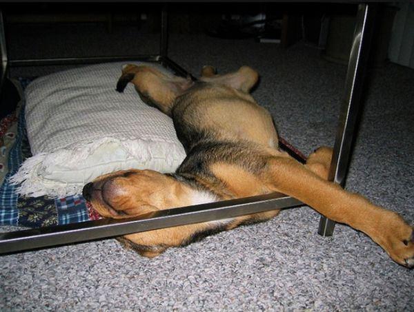 Милые собаки, уснувшие в самых неожиданных местах