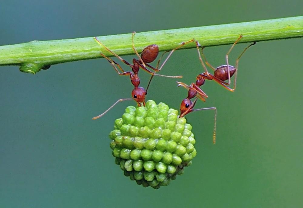 Индонезийские муравьи-силачи