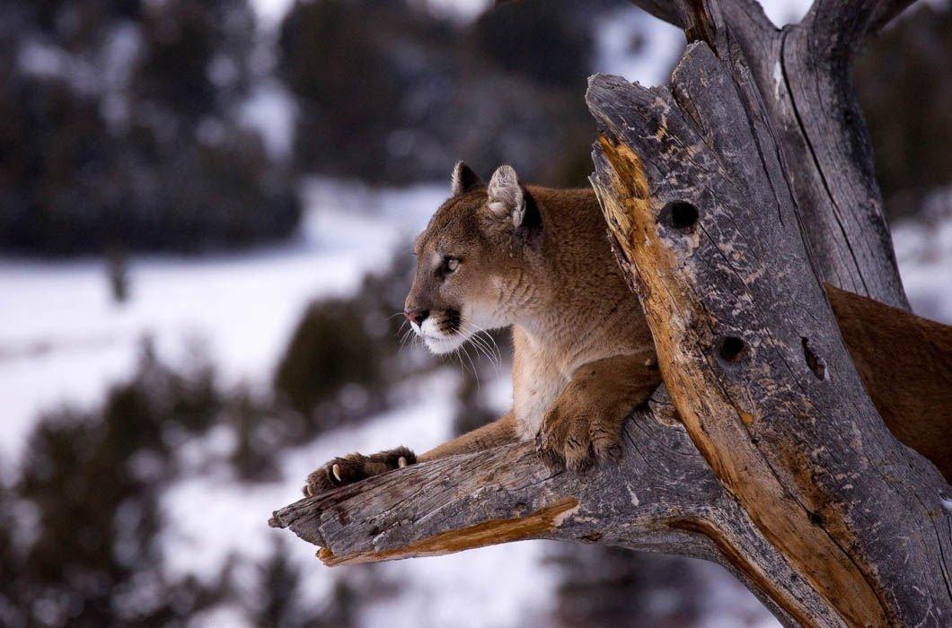 Хищники на земле и на деревьях в объективе Джонатана Гриффитса
