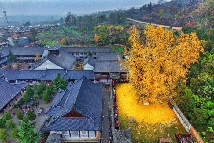 Золотое море желтых листьев дерева гинкго во дворе буддийского храма в Китае