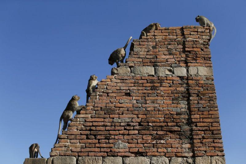 Фестиваль обезьян в Таиланде