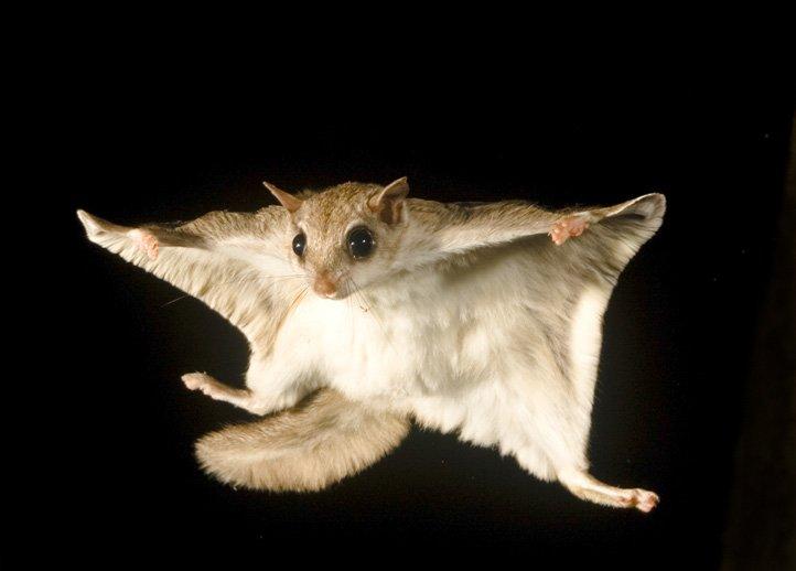 10 интересных фактов о белке-летяге