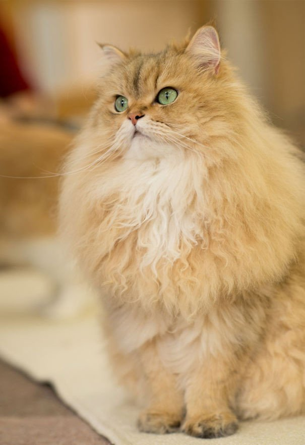 100 максимально пушистых котов поднимут вам настроение