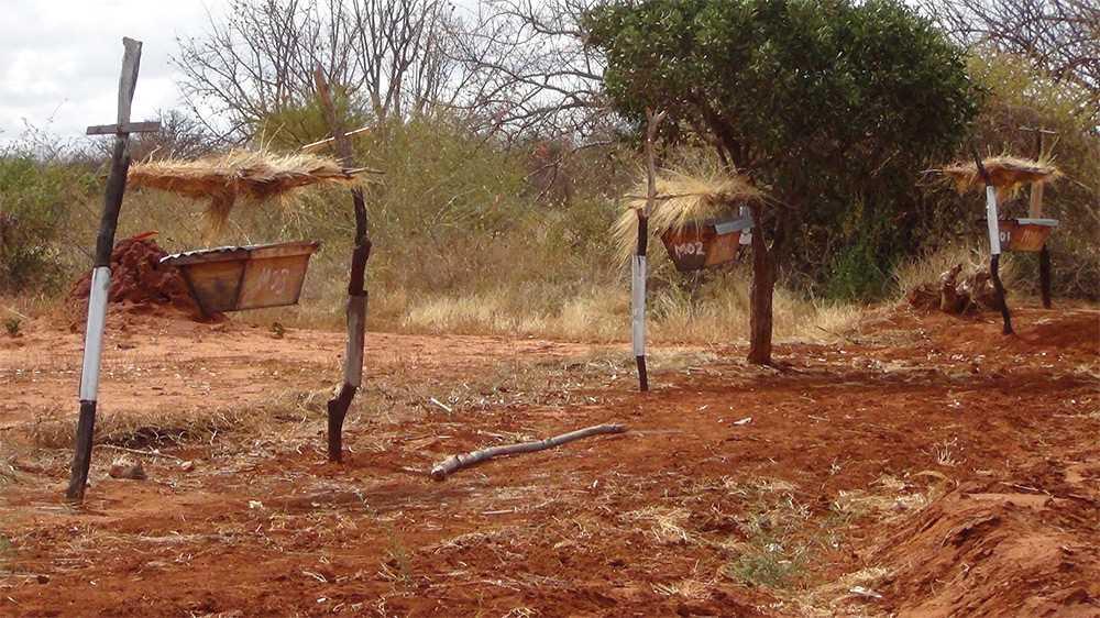 Как африканские фермеры защищают поля от набегов слонов