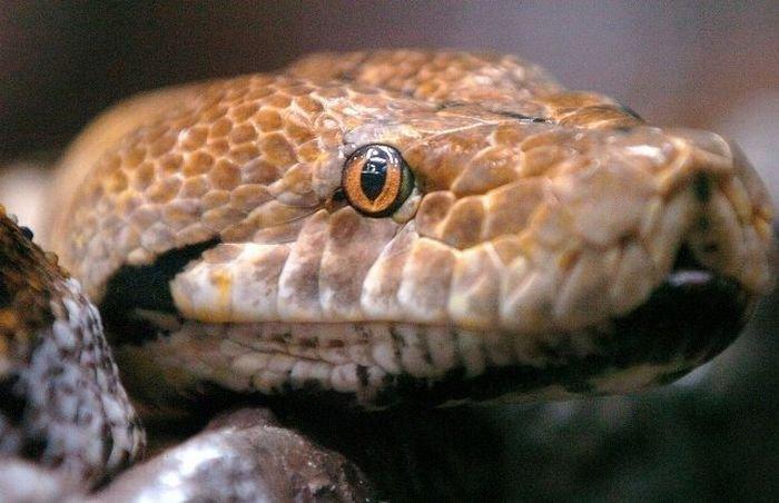 Как происходит переваривание крокодила в желудке питона