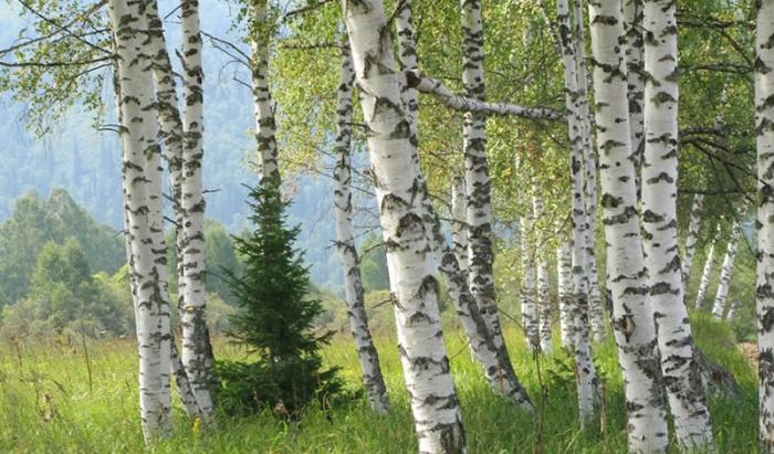 Деревья, которые помогут выжить в лесу