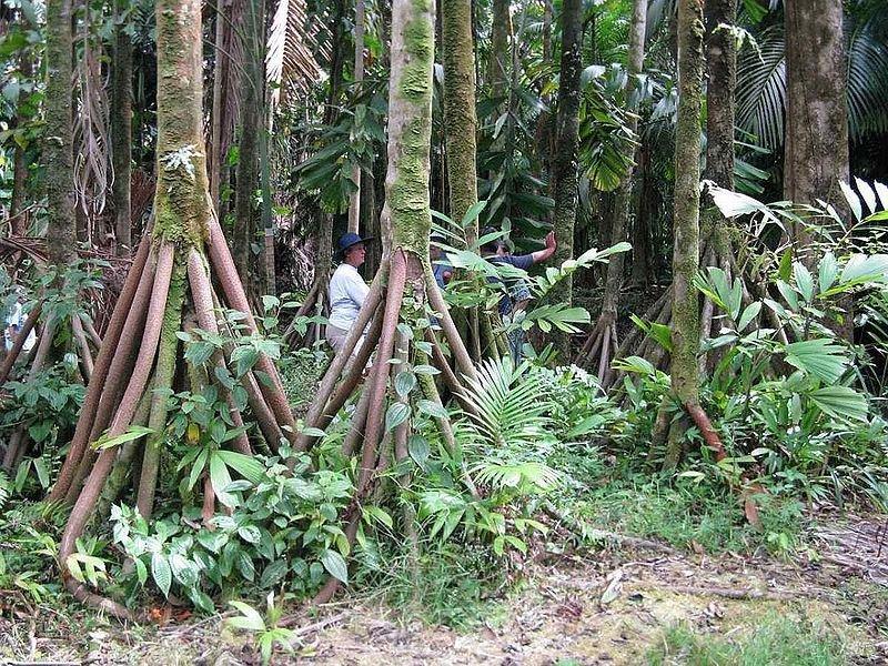 Шагающие пальмы
