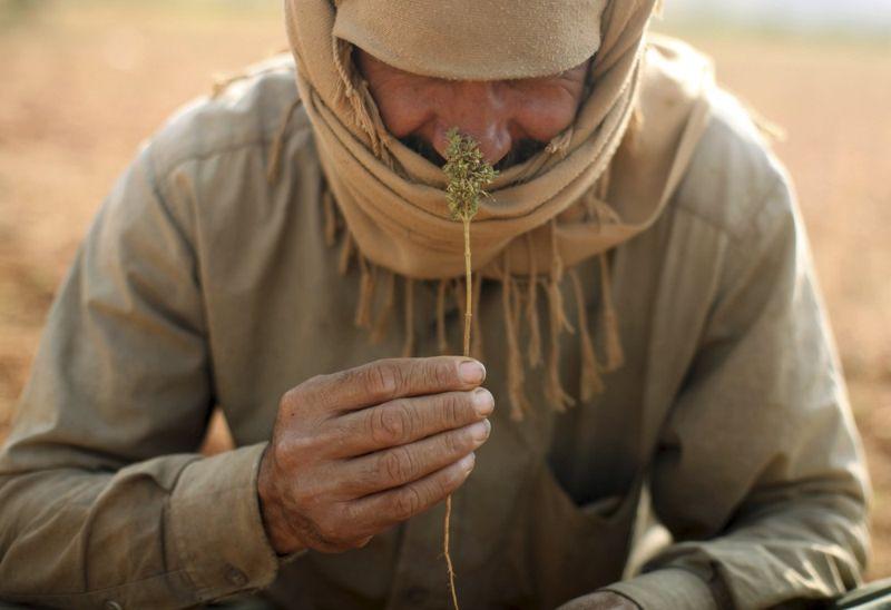Сбор урожая конопли в долине Бекаа