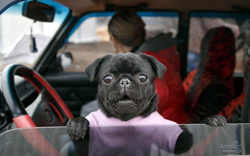 Картинка животное на машине