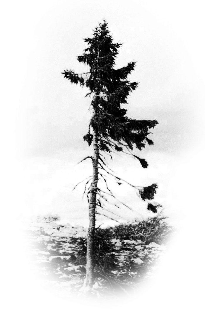 Ель Старый Тикко - самое старое дерево в мире