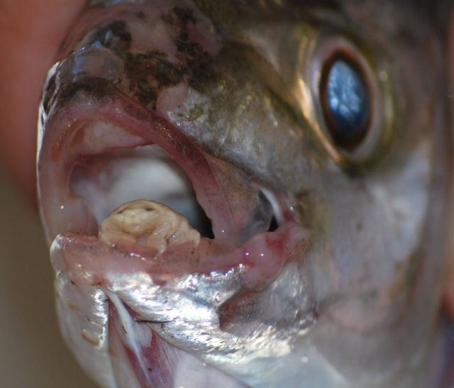 Паразиты в рыбах
