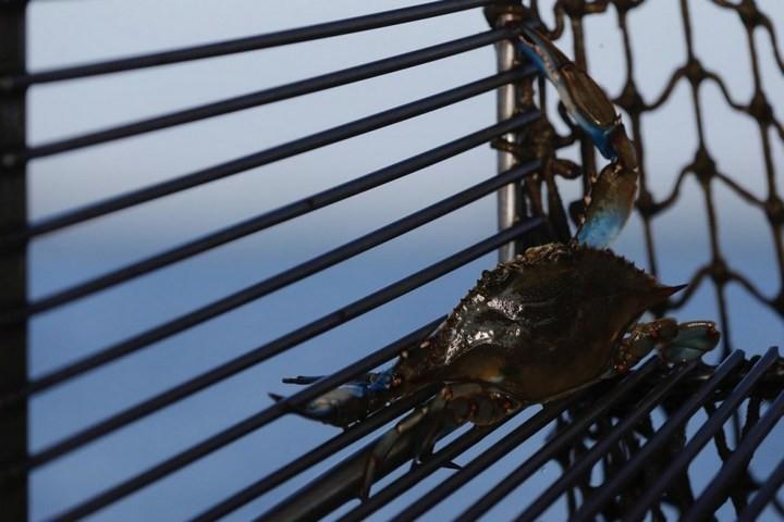 Как ловят голубых крабов